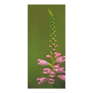 Pink False Dragonhead Flower Full Color Rack Card