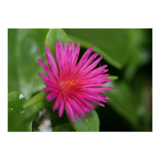 Pink Flower of Succulent Carpet Weed Print
