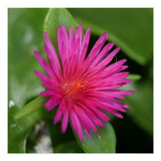 Pink Flower of Succulent Carpet Weed Poster