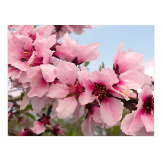 Pink Flowering Branch Postcard