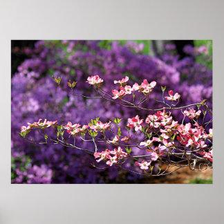 Pink Flowering Dogwood and Purple Azaleas Posters