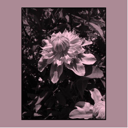 Pink flowers. Clematis. Stylish design. Photo Sculpture