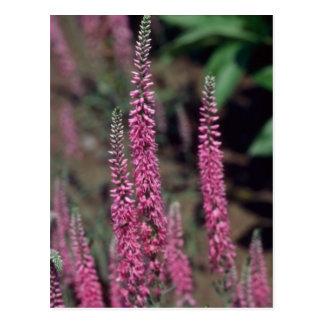 Pink Forma, (Veronica Longifolia) flowers Postcard