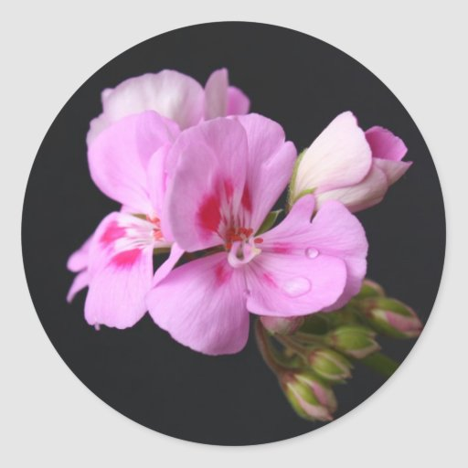 Pink geranium flower in summer bloom round stickers