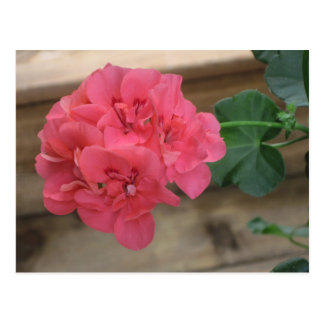 Pink Geraniums Postcards