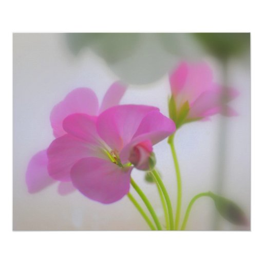 Pink Geraniums Poster