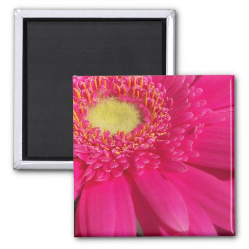 Pink Gerber Daisy Square Magnet
