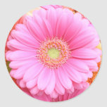Pink Gerber Daisy Stickers