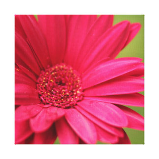 Pink Gerbera Daisy Stretched Canvas Print