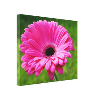 Pink Gerbera Daisy Gallery Wrapped Canvas