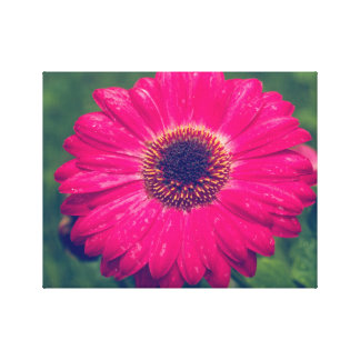 Pink Gerbera Daisy in Bloom Canvas Print