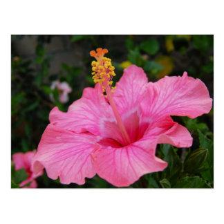 Pink Hawaii Hibiscus Postcard