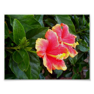 Pink hibiscus, evergreen and of delicate beauty posters