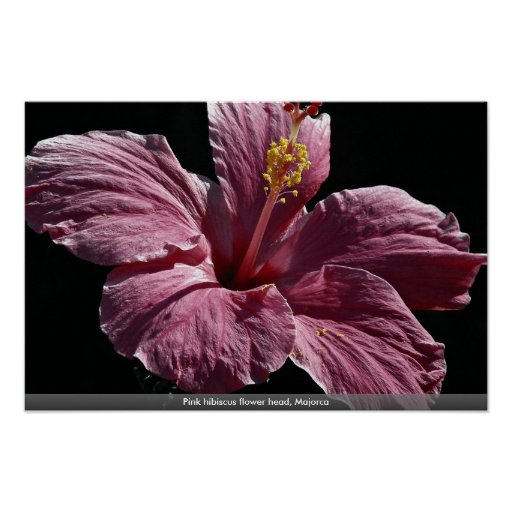 Pink hibiscus flower head, Majorca Posters
