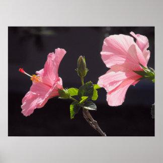 Pink Hibiscus on Black Poster