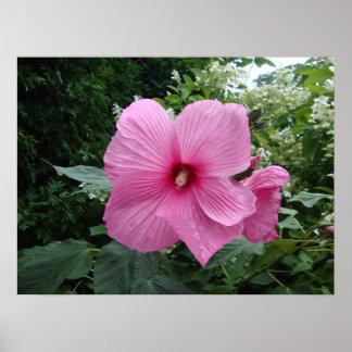 Pink Hibiscus Poster
