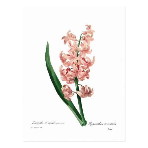 Pink Hyacinth Post Cards