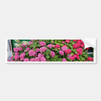 Pink hydrangeas, Holland Bumper Sticker