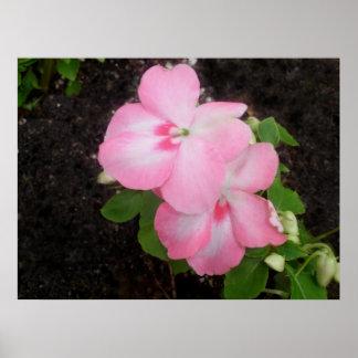 Pink Impatiens Flower Poster