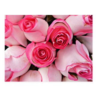 Pink innocent roses and delicate rose bud flowers postcard
