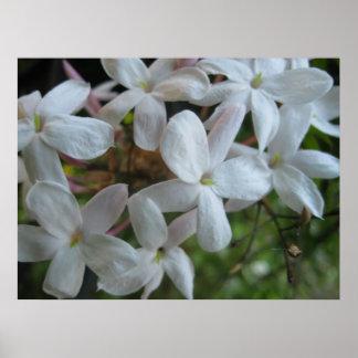Pink Jasmine Flowers Poster
