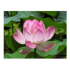 Pink Lotus Bloom Postcard