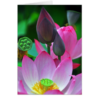 Pink Lotus Blossoms Card