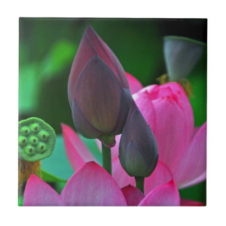 Pink Lotus Blossoms Ceramic Tile