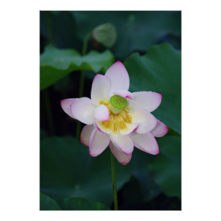 Pink lotus flowers taken from a park print