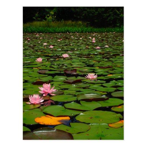 Pink lotus water lily flower pond postcards
