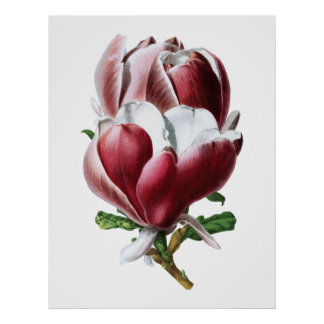 Pink magnolia large flowers poster