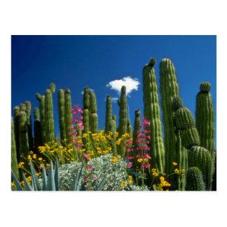 Pink Many plants, Sonoran Desert, Arizona flowers Postcard