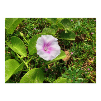Pink Morning Glory Blossom, Hawaii Poster