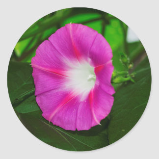 Pink Morning Glory Flower Stickers