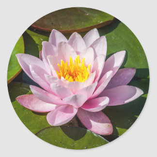 Pink Nuphar Lutea Water Lily Flower in Full Bloom Round Sticker