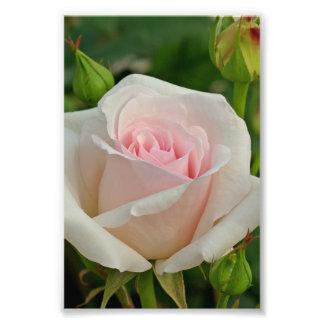 Pink Ophelia Hybrid Rose Photo Print
