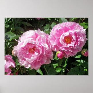 Pink Peonies In the Garden Poster