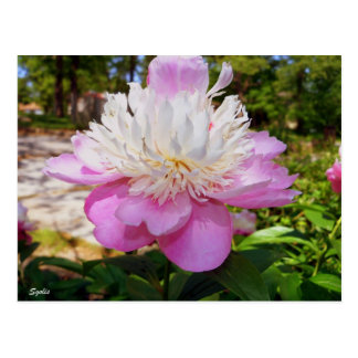 Pink Peony Easter Postcard