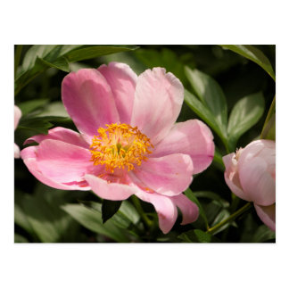 Pink Peony Flower Fully Open Postcard