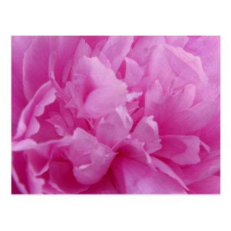 Pink Peony Petals post card