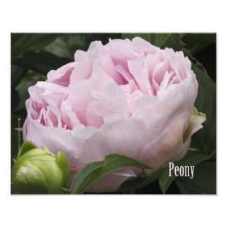 Pink Peony Photograph