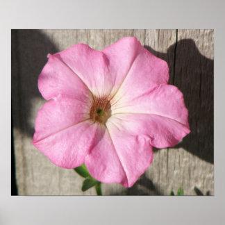 Pink Petunia Poster