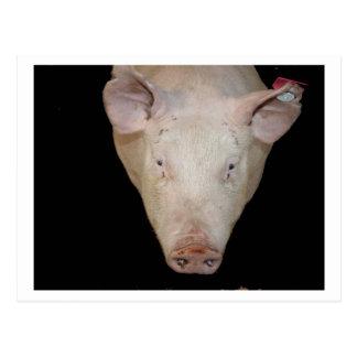 Pink pig head against black background postcard