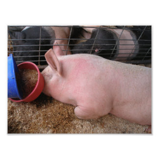 Pink Pig Laying Down by Food Bowl Photographic Print