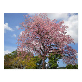 Pink Poui Tree on Harris Promenade San Fernando Postcard