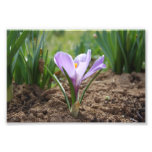Pink Purple Crocus Vernus Flower Photo Art