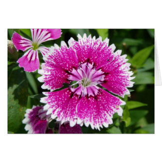 Pink/Purple Dianthus carnation up close Greeting Card