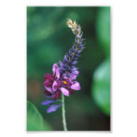 Pink Purple Flower on Flowering Kudzu Photo Art