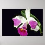 Pink Remo Prada 'Crown' (Laeliocattelaya) flowers Print