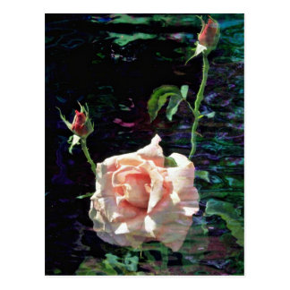 Pink rose and buds  flowers post card